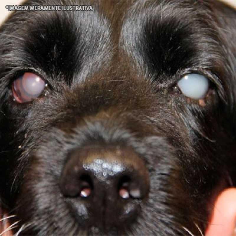 Cirurgia Catarata Veterinária Alto de Pinheiros - Cirurgia Veterinária de Cães