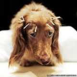 acupuntura de cachorro
