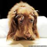 acupuntura em cachorro com labirintite