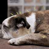 acupuntura em cachorro agendar Tamboré