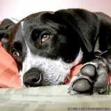 acupuntura para cachorro Tamboré