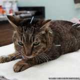 acupuntura para gatos Cidade Monções