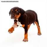 Ortopedista para Animal
